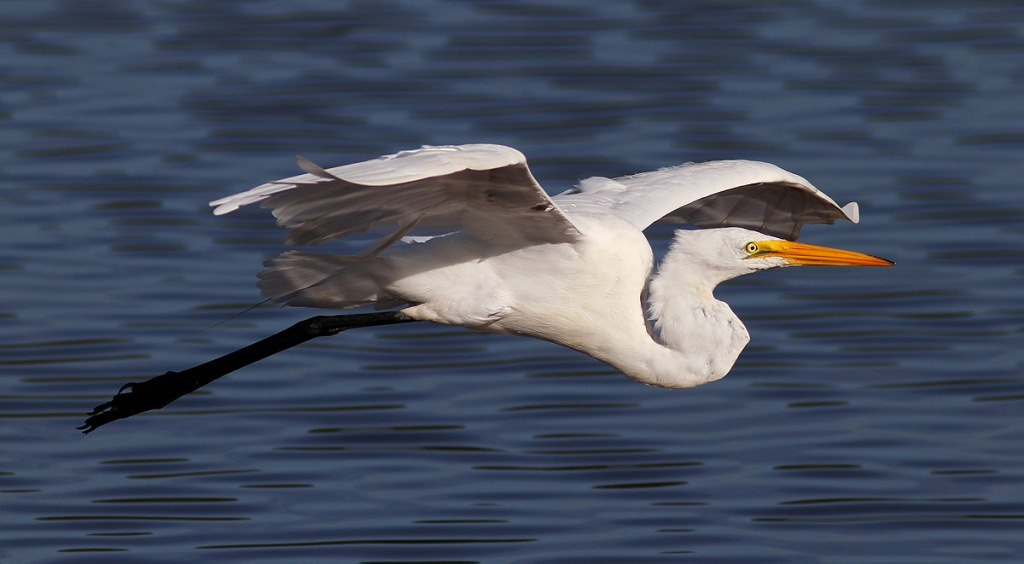 Egret Flight Over Marsh