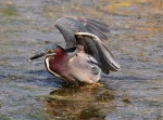 Green Heron Feeding Wings Up