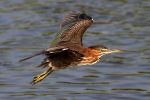 Green Heron Flight