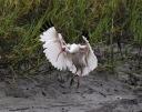 Ibis Feeding In Salt Marsh
