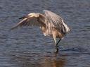 Juvenile Reddish Egret Fishing 01