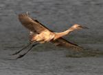 Reddish Egret Flight