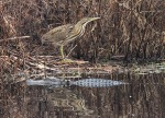 American Bittern and Gator