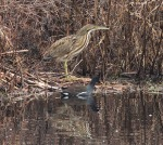 American Bittern and Moorhen