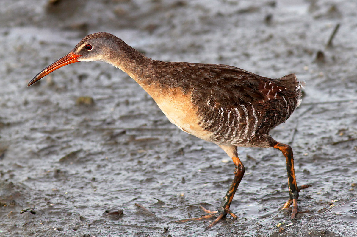 The Secretive Clapper Rail Phil Lanoue Photography