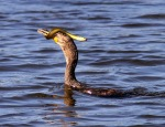 Cormorant Catches an Eel