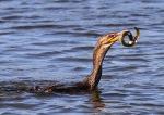 Cormorant Catches an Eel