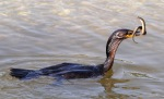 Cormorant Catches Eel