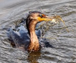 Cormorant Catches Shrimp