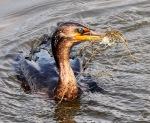 Cormorant Catches Shrimp