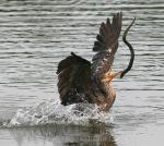 Cormorant Flips Eel