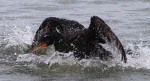 Cormorant Splash
