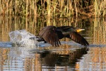 Cormorant Takes Off From Marsh