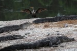 Cormorant with Gators