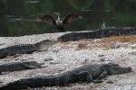 Cormorant with Gators