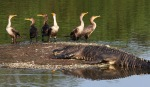 Cormorants and Alligator