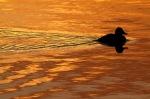 Duck Sunset Silhouette