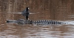 Gator and Coot in Swamp