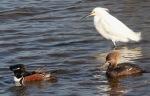 Mergansers and Snowy Egret