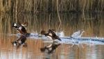 Mergansers in Salt Marsh