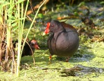 Mom and Baby Moorhen in Swamp Pond