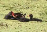 Moorhen With Chicks