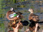 Mr. and Mrs. Blue-winged Teal