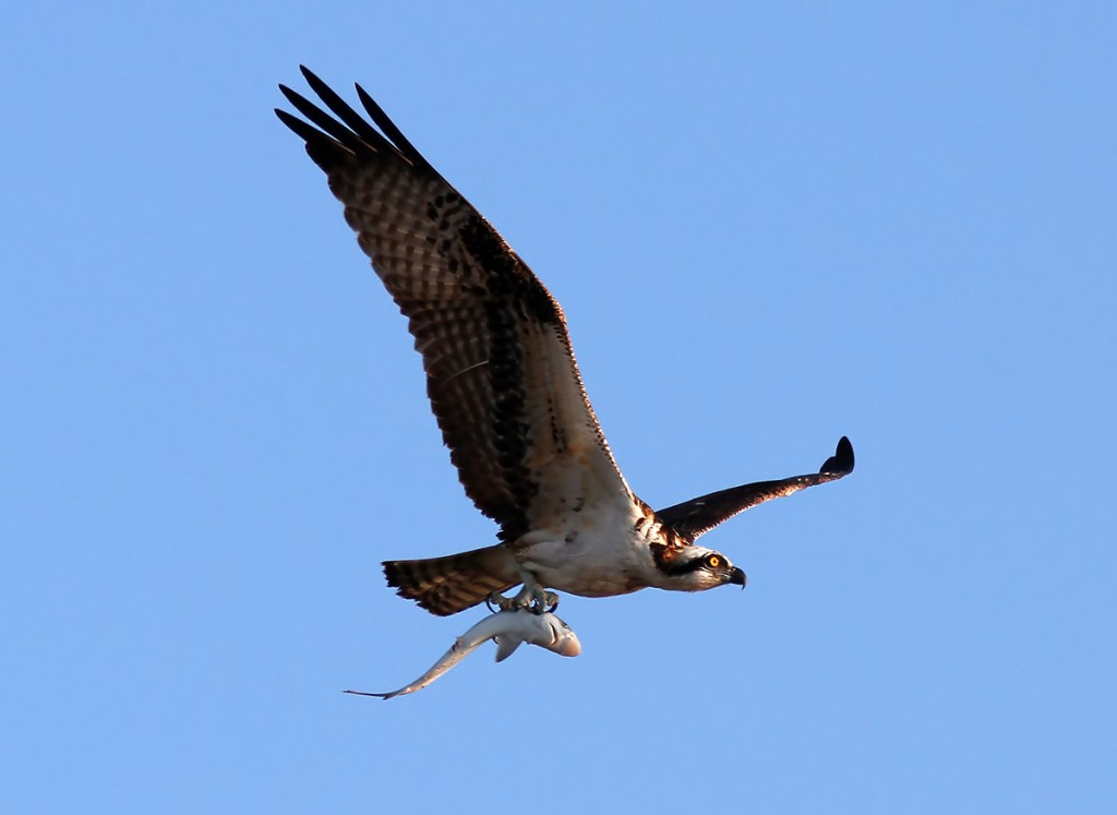 Osprey with shark phil lanoue photography for Osprey catching fish