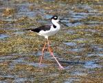 Black-necked Stilt Fishing in Marsh
