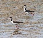 Black-necked Stilts in the Marsh