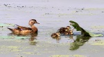 Wood Duck Family in Swamp