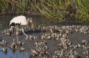 Wood Stork and Alligator in Salt Marsh