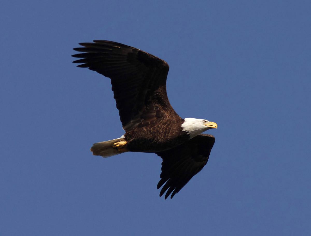 Bald eagles in flight - photo#14