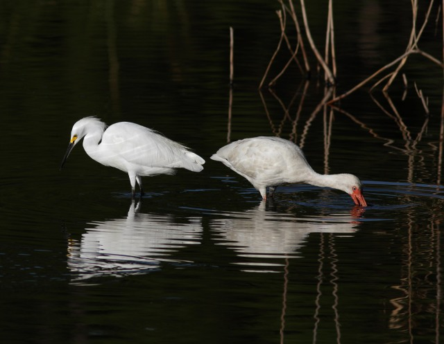 Snowy and Ibis