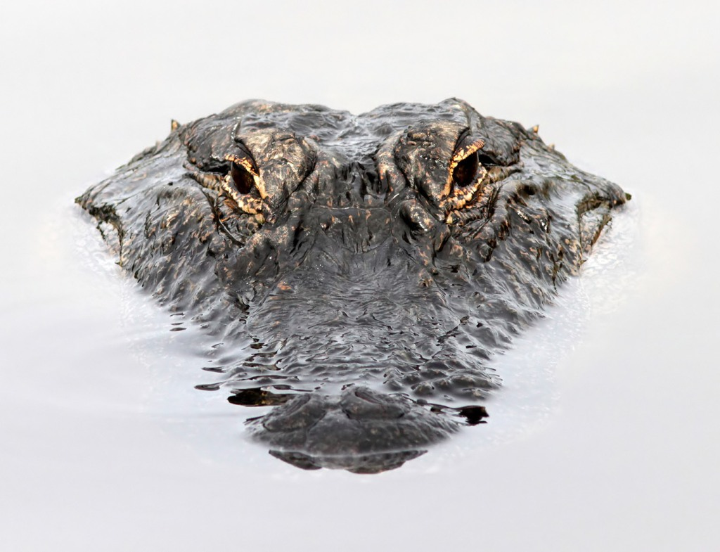 Alligator Head Floating