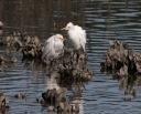 Cattle Egrets 02