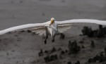 Egret Flight with Fish