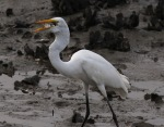 Egret Gulps Fish