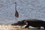 GBH and Alligator