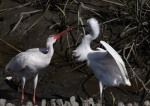 Ibis Snowy Fight