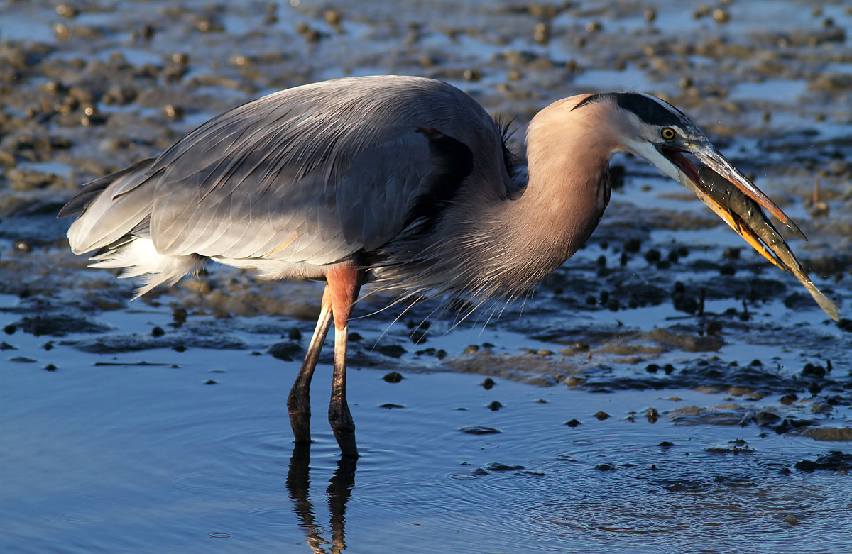Fish with mud sauce phil lanoue photography for Blue heron fishing