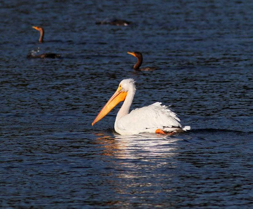 http://phillanoue.files.wordpress.com/2012/11/white-pelicans-01.jpg?w=1024