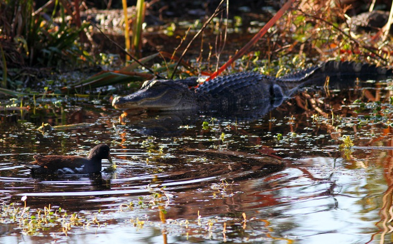 Alligators in the Swamp