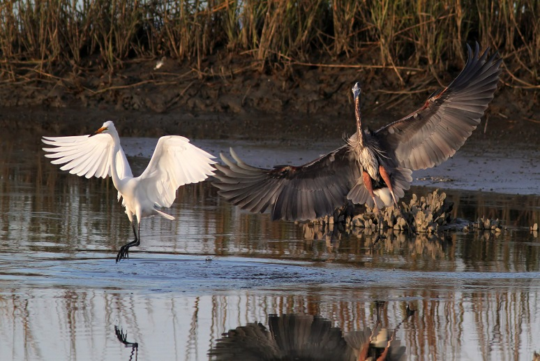 GBH and Egret Incident
