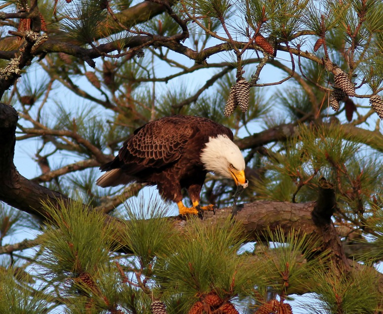 Bald Eagle in Tree with Fish