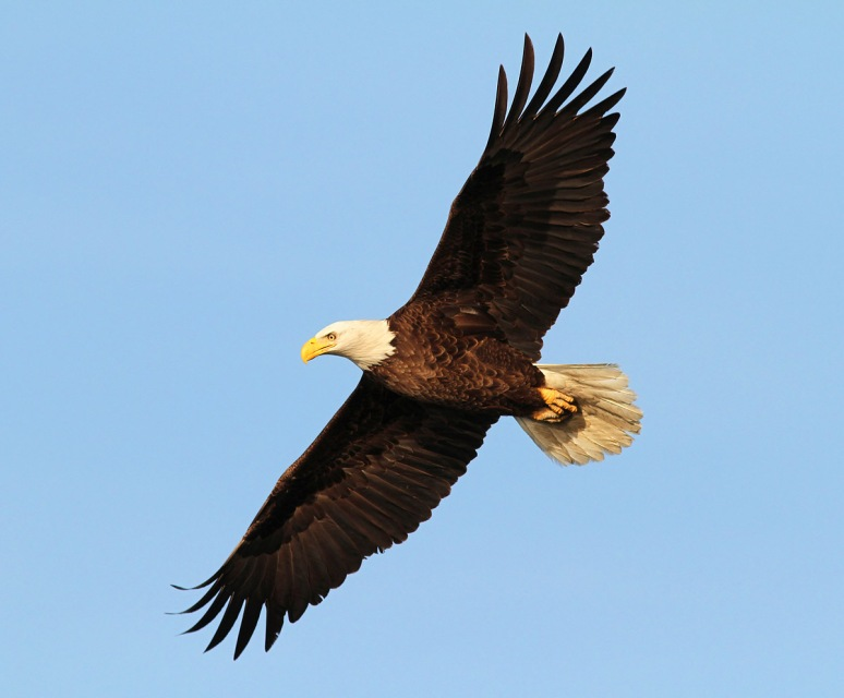 Bald Eagle Leaves Pine Tree
