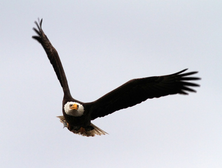 Bald Eagle Returns to the Marsh