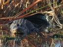 Big Gator in Swamp