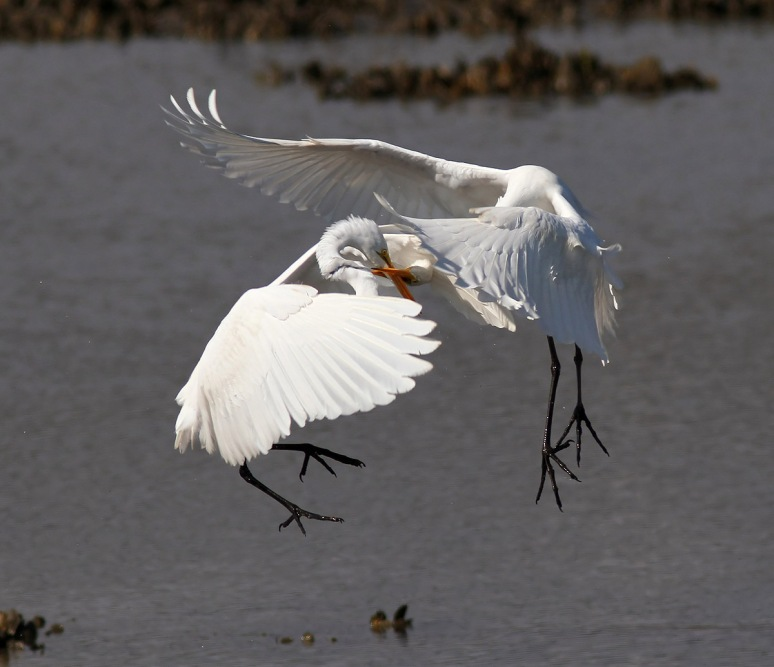 Egret Battle in the Marsh