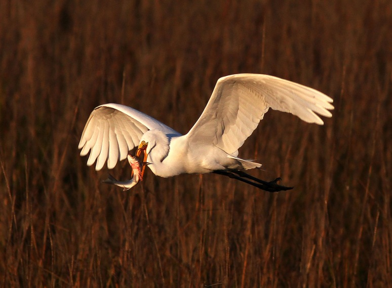 Egret Flying with Fish
